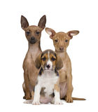 Portrait of Miniature Pinschers and Beagle puppy Stock Photos