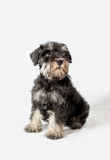 Portrait miniature Schnauzer black isolated Stock Image