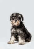 Portrait miniature Schnauzer black isolated Stock Images