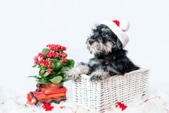 Portrait of miniature schnauzer in santa helper costume Stock Photography