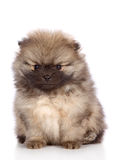 Portrait of a miniature spitz puppy Stock Photos