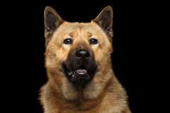 Portrait of mix breed Akita Inu and Chow chow Dog. Portrait of Dog mix breed Akita Inu and Chow Chow Isolated on Black Background, blue tongue stock photos