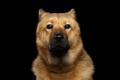 Portrait of mix breed Akita Inu and Chow chow Dog. Portrait of Dog mix breed Akita Inu and Chow Chow Isolated on Black Background, Funny face Royalty Free Stock Images
