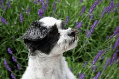 Cute little dog with big eyes sitting in lavender. Portrait of a mixed-breed dog between shih tzu and maltese dog  with big astonished eyes He sits  in lavender Stock Photography