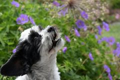 Astonished little moggy dog observing somrehing. Portrait of a mixed-breed dog between shih tzu and maltese dog with sitting in lilac flowers and observes Royalty Free Stock Photos