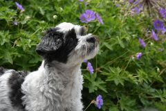 Cute little moggy dog observing something. Portrait of a mixed-breed dog between shih tzu and maltese dog with sitting in lilac flowers and observes something Royalty Free Stock Images