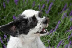 Cute little dog with open mouth and flying ear sitting in lavender. Portrait of a mixed-breed dog between shih tzu and maltese dog with open mouth and flying ear Stock Image