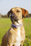 Mixed Breed Dog Portrait in the Park. Portrait of a mixed breed dog sitting in a park Royalty Free Stock Image