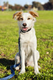 Mixed Breed Dog Portrait in the Park. Portrait of a mixed breed dog sitting in an urban park Stock Photos