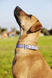 Mixed Breed Dog Portrait in the Park. Portrait of a mixed breed dog sitting in an urban park, looking up at something off-frame Royalty Free Stock Photos