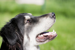 Portrait of mixed-breed dog smiling Royalty Free Stock Photography