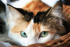 Portrait of a mixed breed long haired kitten Stock Photography