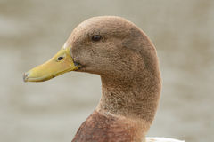Portrait of mixed breed male duck drake Royalty Free Stock Photo
