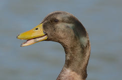 Portrait of mixed breed male duck drake Royalty Free Stock Images