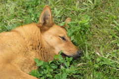 Mixed breed, red haired dog having rest in the spring grass Royalty Free Stock Image