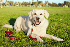 Mixed Labrador Dog Portrait at the Park. Portrait of a mixed Labrador dog, sitting on the grass at the park on a sunny day Royalty Free Stock Photos
