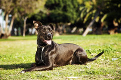 Mixed Pitbull Dog Portrait at the Park Stock Image