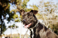 Mixed Pitbull Dog Portrait at the Park Royalty Free Stock Photos