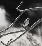 Portrait of a Mockingbird in Black and White royalty free stock photos