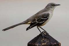 Portrait of a Mockingbird. Closeup of the textures of an isolated mockingbird on a pointed square wooden post in a Florida park with gray clouds in the royalty free stock image