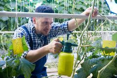 Worker Treating Plants in Greenhouse. Portrait of modern plantation worker spray treating plants while caring for vegetables in greenhouse of modern agricultural stock photography