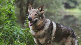 Portrait modifié la tonalité de wolfdog clips vidéos