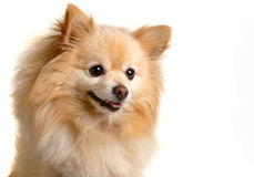 Portrait of Moe. Pomeranian dog Royalty Free Stock Images