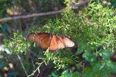 Monarch Butterfly. Portrait of a monarch butterfly royalty free stock photo
