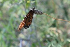 Monarch Butterfly. Portrait of a monarch butterfly stock photography