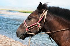 Portrait of a Mongolian horse in harness Royalty Free Stock Images