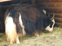 Portrait of mongolian yak behind the wooden fence. Close-up view. Rural scene royalty free stock image