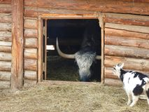 Portrait of mongolian yak behind the wooden fence. Close-up view. Rural scene stock photos