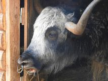 Portrait of mongolian yak behind the wooden fence. Close-up view. Rural scene royalty free stock photography