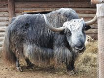 Portrait of mongolian yak behind the wooden fence. Close-up view. Rural scene stock photo