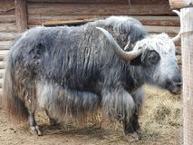 Portrait of mongolian yak behind the wooden fence. Close-up view. Rural scene stock image