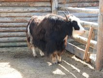 Portrait of mongolian yak behind the wooden fence. Close-up view. Rural scene stock photography