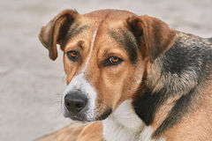 Portrait of Mongrel. Close-up Portrait of Mongrel on the Beach Royalty Free Stock Photography