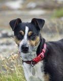 Portrait of mongrel dog Stock Image