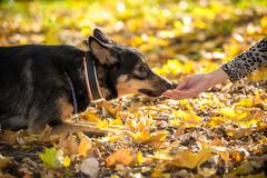 Portrait of mongrel dog fed on autumn forest. Mongrel dog fed on autumn forest with golden leaves royalty free stock images