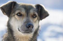 Portrait of a mongrel dog in winter Royalty Free Stock Images