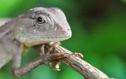 A Portrait of a Monitor Lizard Stock Image