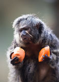 Monk Saki monkey Royalty Free Stock Image