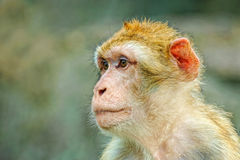 Portrait of monkey. Portrait of sad wild monkey Stock Image