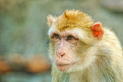 Portrait of monkey. Portrait of the wild monkey Royalty Free Stock Images