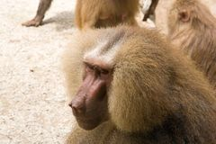 Portrait of Monkey Stock Image