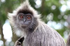 Portrait of the monkey Stock Images