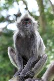 Portrait of the monkey Royalty Free Stock Images