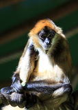 Portrait of a monkey Stock Photography