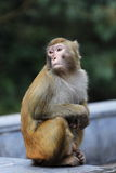 Portrait of monkey Stock Photography