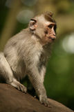 Portrait of the monkey Royalty Free Stock Photos